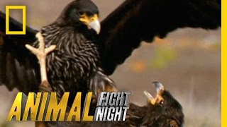 Download Rooks and Rookies | Animal Fight Night Video