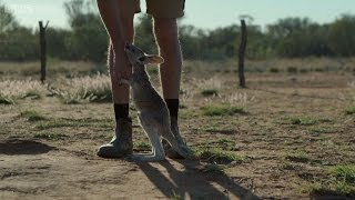 Download Following the leader - Kangaroo Dundee: Episode 3 Preview - BBC Two Video