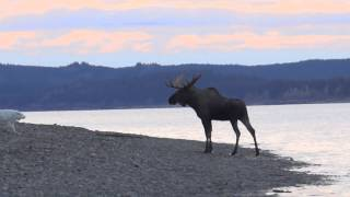 Download Great Pyrenees vs Bull Moose on the Yukon River (unedited) Video