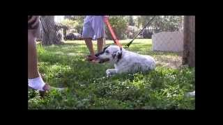 Download Aggressive Border Collie attacks people (MUST SEE THE END!) longer version Video