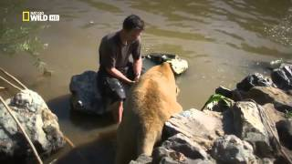 Download Man And Lions Kevin Richardson Documentary Hd 2014 Video
