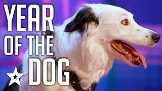 Download Celebrating THE BEST DOG AUDITIONS & TRICKS EVER On Got Talent From Around The World Video