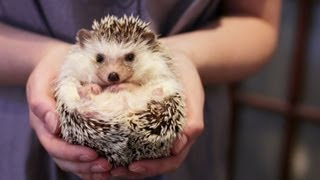 Download OWNING A PET HEDGEHOG FACTS - UPDATED Video
