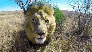 Download Loading The Lions | The Lion Whisperer Video