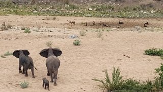 Download Elephants Protect Calf From Wild Dogs Video