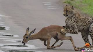 Download A young cheetah makes its first kill Video