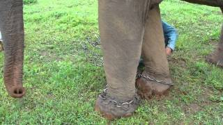 Download Khum Min the elephant set free (see the chains removed) Video