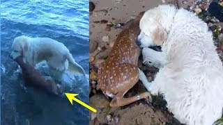 Download Dog Sees Baby Deer Struggling In The Water And Immediately Springs Into Action Video