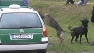 Download Vorführung Polizeihunde bei 125-Jahrfeier FF Dresden-Weixdorf Video