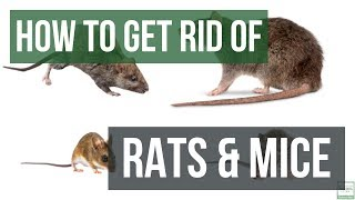 Download How to Get Rid of Rats and Mice Guaranteed- 4 Easy Steps Video