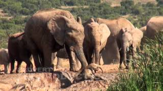 Download Baby Elephant Screams for Help Video