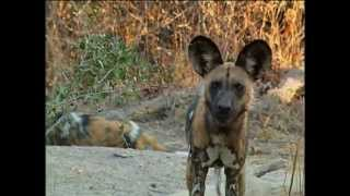 Download Be the Creature - Wild Dogs Video