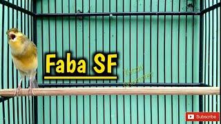 Download CENGKOKNYA BIKIN NGILU Kenari FABA SF Video