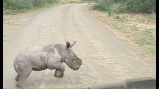 Download Baby Rhino Charges At Car Video