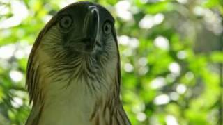 Download The Philippine Eagle and his Keeper Video