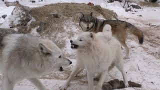 Download International Wolf Center- Clear and Cold 17 February 2018 Video
