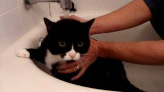 Download Felix Tuxedo Cat Whines and Meows while Sad in Bath! Video