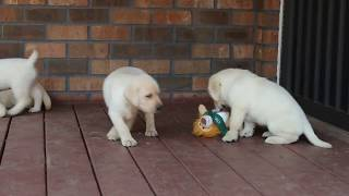 Download Labrador Puppies For Sale Video