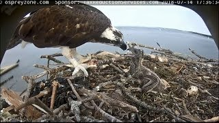 Download Long Island NY OspreyZone Cam ~ Jane Feeds Her Baby; Full Crop 7.14.18 Video
