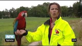 Download Tamme ara-papegøyer flyr fritt / Tame macaws flying free Video