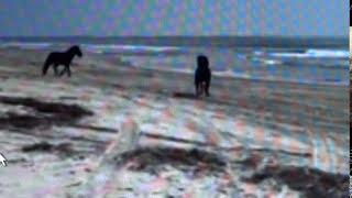 Download Wild Horse Stallions Fight For Herd On Beach - Good Herd Behavior & Snaking Action Video