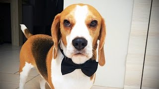 Download BEAGLES ARE AWESOME ★ 17 FUNNY Beagles [Funny Pets] Video