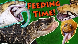 Download Feeding our BIG Reptiles! Video