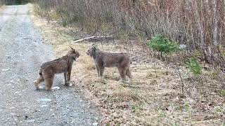 Download Two Lynx in Ontario Have Intense Conversation Video