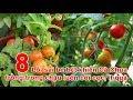 Download 8 Lỗi sai be bét khiến Cà Chua trồng trong chậu luôn còi cọc, ít quả Video