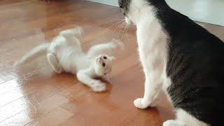 Download 마하의 속도로 똥괭이네를 접수한 새끼 고양이 Video
