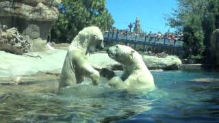 Download Polar Bears at the San Diego Zoo Video