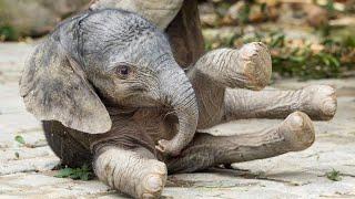 Download Tiergarten Schönbrunn: Ein Babyelefant kommt gerannt Video