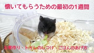 Download ハムスターの飼い方!懐いてもらうための初めの一週間の飼い方!お家作り、トイレのしつけ、ごはんのあげ方!おもしろ可愛いハムスターFirst hamster culture! 1 week to take Video