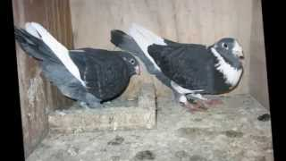 Download Adana Güvercinleri(Erdoş Dayı) Video