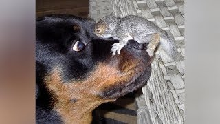 Download Top FUNNY SQUIRREL VIDEOS - PREPARE YOURSELF to LAUGH ULTRA HARD! Video