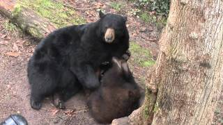 Download Black bear Cubby ″Father of the Year″ Video