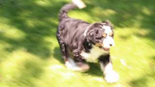 Download Miniature Bernedoodle Puppies For Sale Mike Petersheim Video