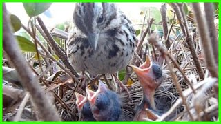 Download 9 DAYS IN THE NEST - Baby Birds fom Egg to Fledgling a Compilation Video