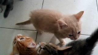 Download Noisy kittens waiting for dinner! Video