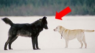 Download This is what happens when a wild wolf approaches a pet dog Video