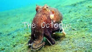 Download Masters Of Camouflage: The Octopus Video