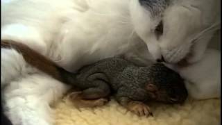 Download Cat rescues baby squirrel - Mary Cummins, Animal Advocates Video