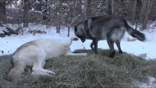 Download International Wolf Center - Personality Profiles 22 January 2016 Video