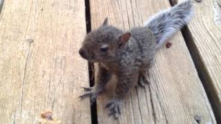 Download Lost and Hungry Baby Squirrel Video