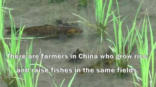 Download China: Growing rice, raising fish for food and livelihood security Video