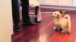 Download Bonnie our adorable 3 month old Havanese puppy does her tricks Video