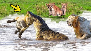 Download Huge Mistake Of The Crocodile When Provoke Lion Queen! Epic Battles Of King Lion Vs Crocodile Video