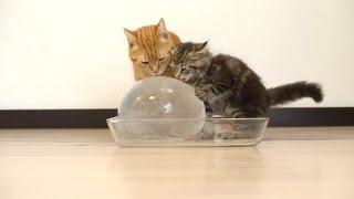 Download 10 Cats to Enjoy Ice Ball 丸い氷を楽しむ10匹の猫 Video