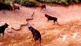 Download 5 dogs attack a King cobra - dog vs cobra - dog kills snake Wild Nature Video