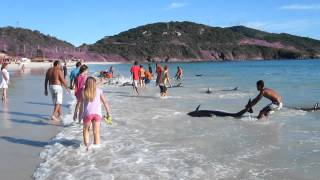 Download 30 Dolphins stranding and incredibly saved! Extremely rare event! Video